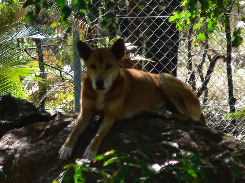 Blurry dingo..taken in a hurry as were on bus