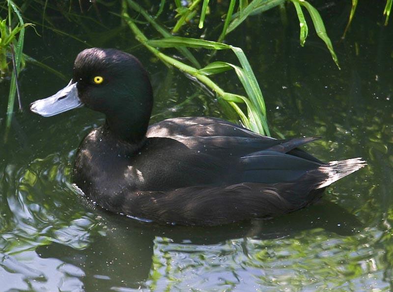 Blue billed duck?