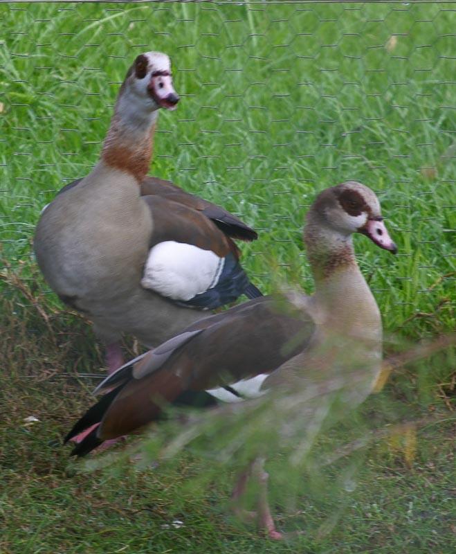 Egyptian ducks