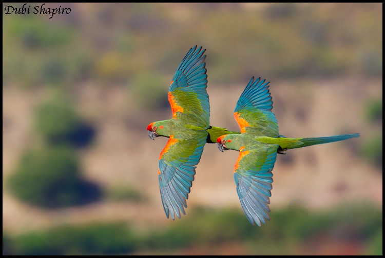 Red-fronted Macaw (Ara rubrogenys)