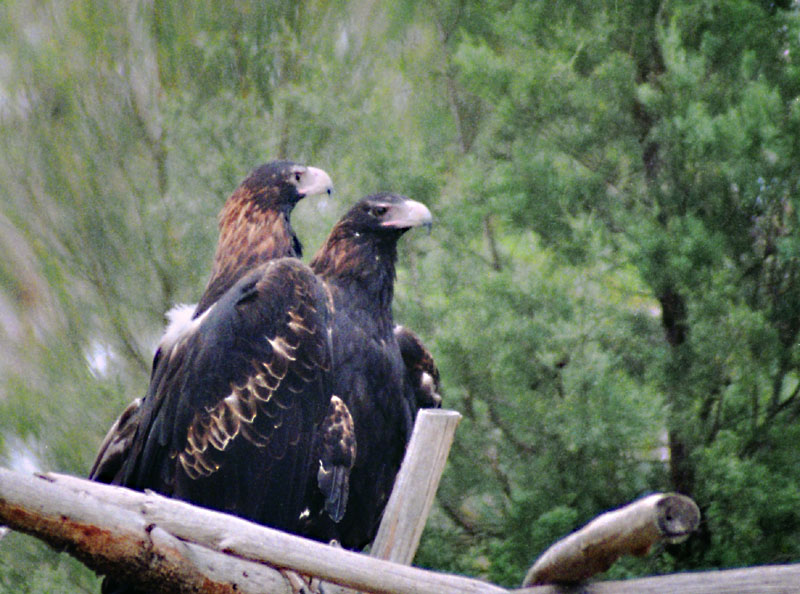 Wedge-tailed eagles