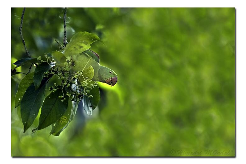 Hanging Parrot - Dooars