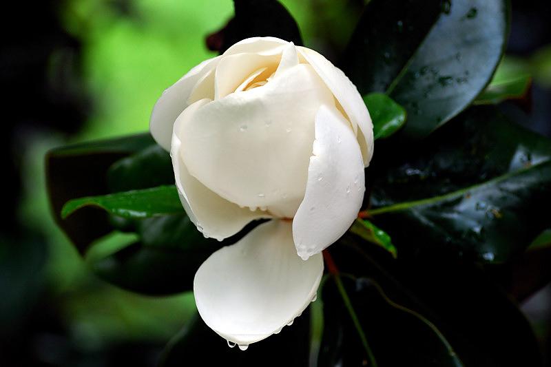 Rainy day magnolia