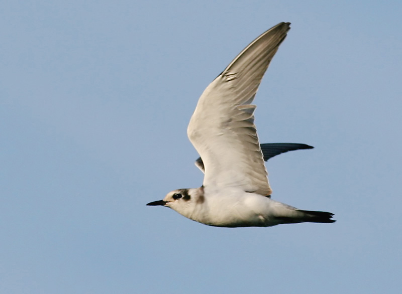 Svarttärna - Black Tern (Chlidonias niger)