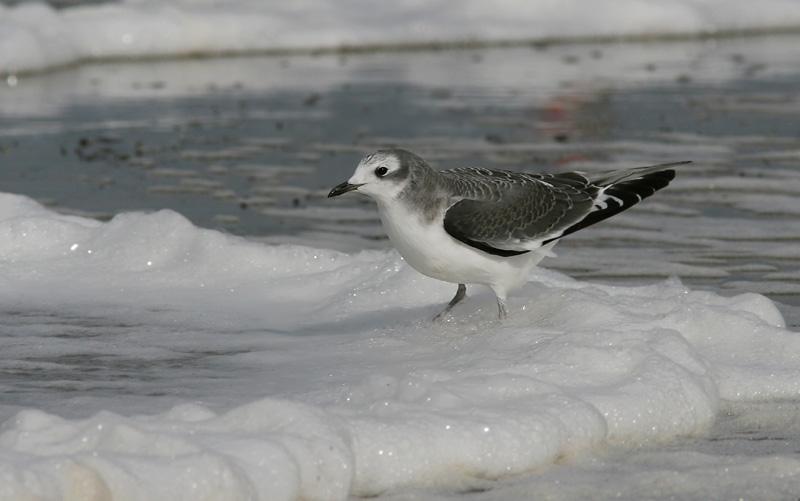 Tärnmås - Sabines Gull (Xema sabini)