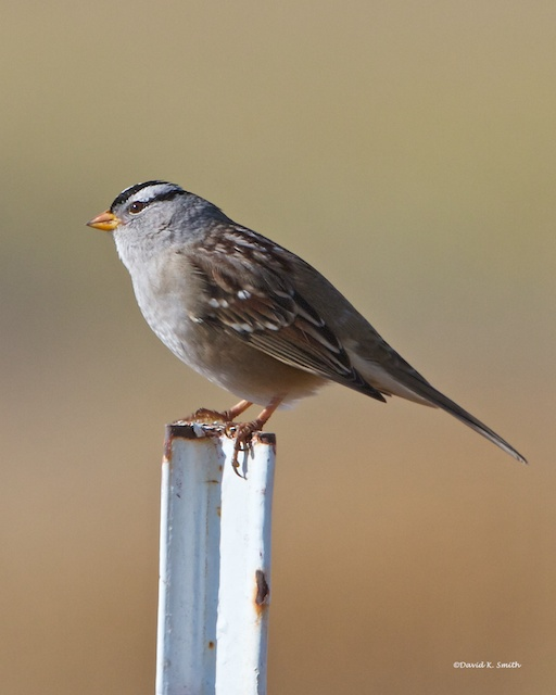 White Crowned Sparrow Lincoln Co