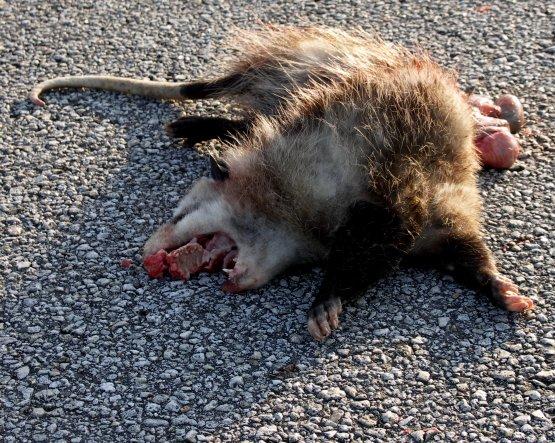 Cleft Palete Possum