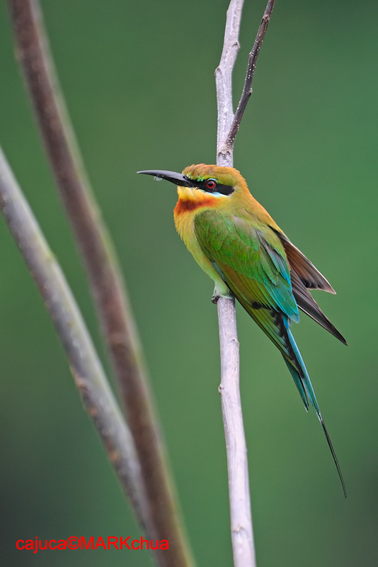 Blue-tailed Bee-Eater ( Merops philippinus )