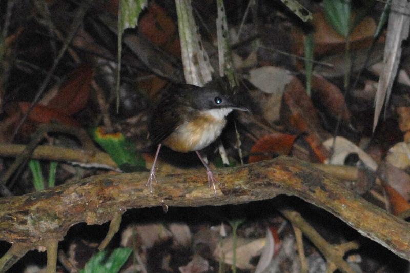 Short-tailed Babbler (Malacocincla malaccensis)