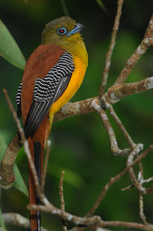 Orange-breasted Trogon ( Harpactes oreskios )
