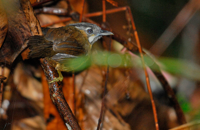 Grey-throated Babbler ( Stachyris nigriceps )