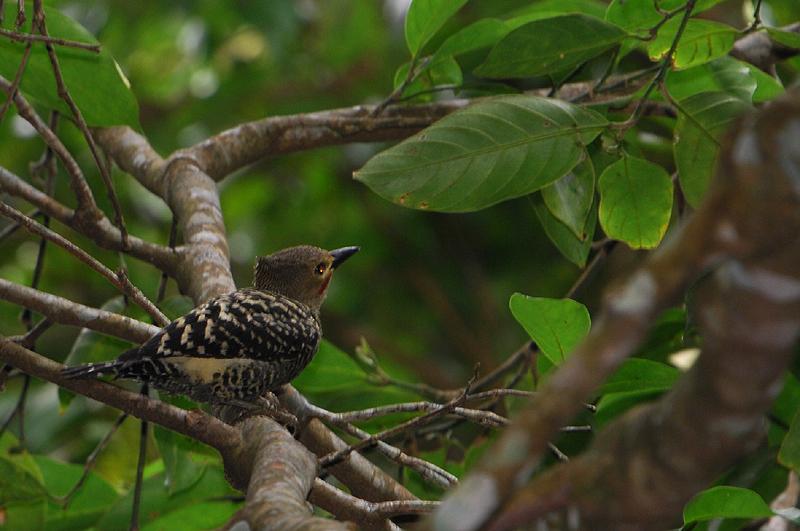 Buff-rumped Woodpecker (Meiglyptes tristis)