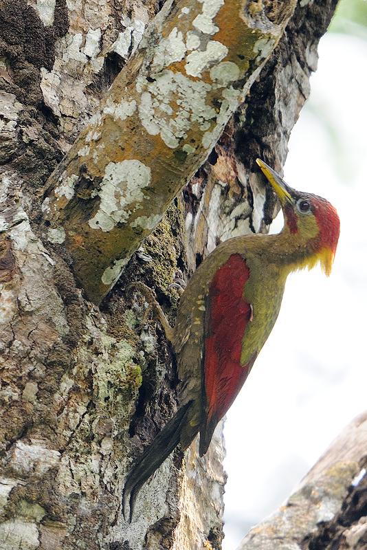 Crimson-winged Woodpecker (Picus puniceus)