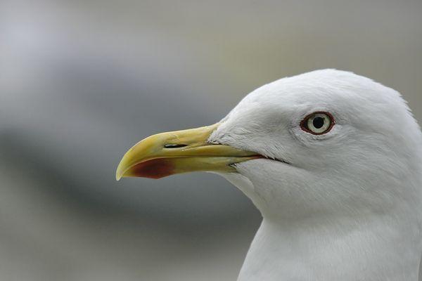 Lesser Black-backed Gull (Larus fuscus intermedius)