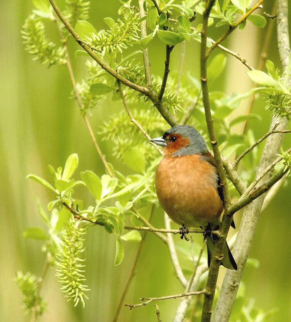 Common Chaffinch (Bofink)