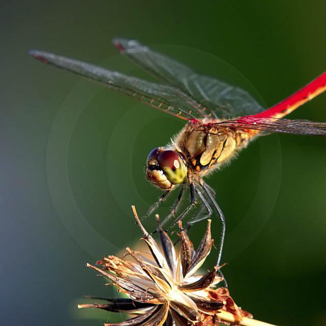 Korean Dragonfly 11037