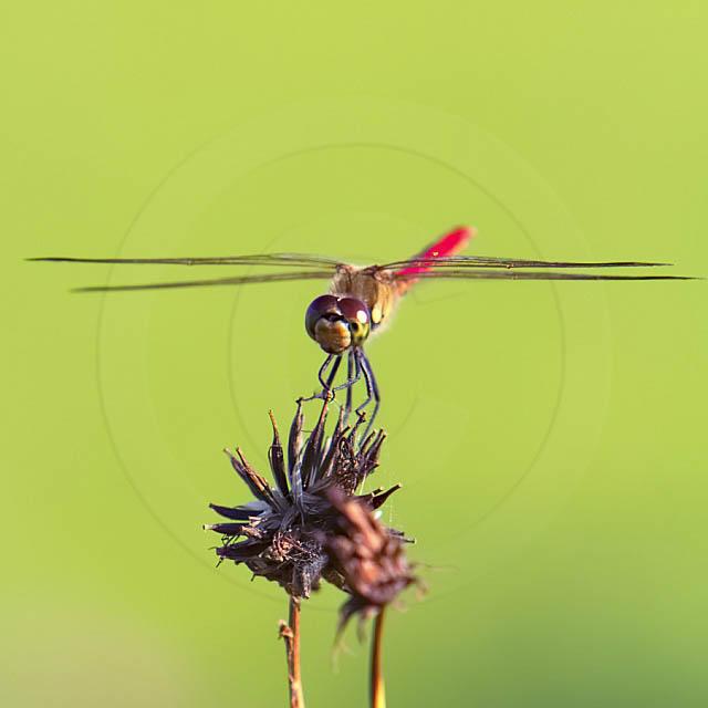 Korean Dragonfly 11043