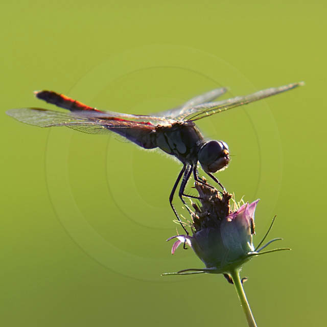 Korean Dragonfly 11059