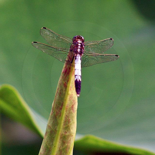 Korean Dragonfly 10647