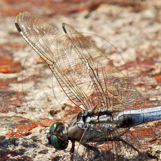Korean Dragonfly 10665