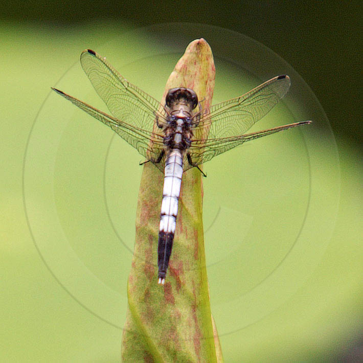Korean Dragonfly 10638