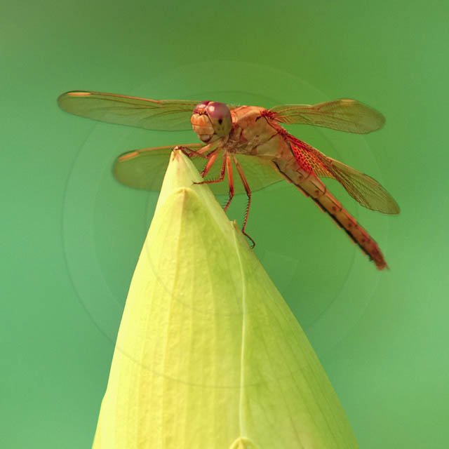 Korean Dragonfly 2184