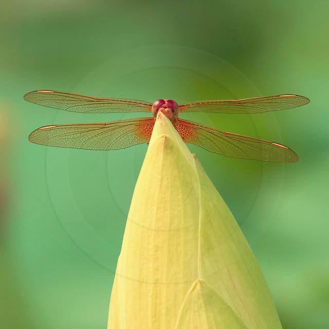 Korean Dragonfly 2190