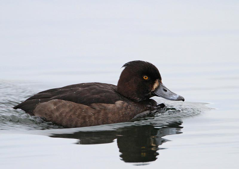 Tufted Duck, female