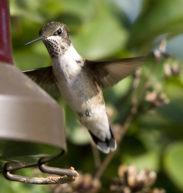 Female Red throat Hummingbird