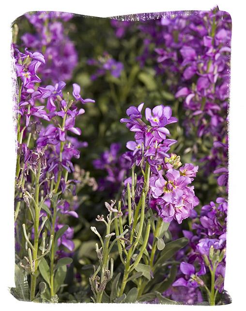 Purple Stocks