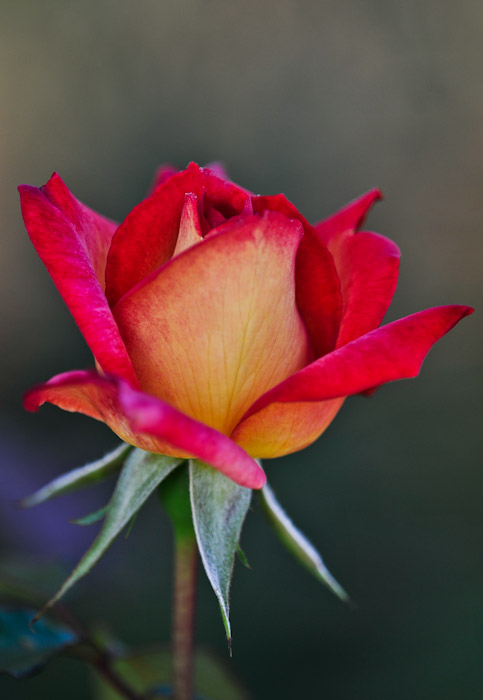 A Rose for my Love