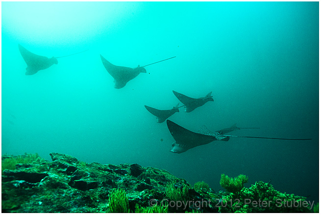 Schooling eagle rays.