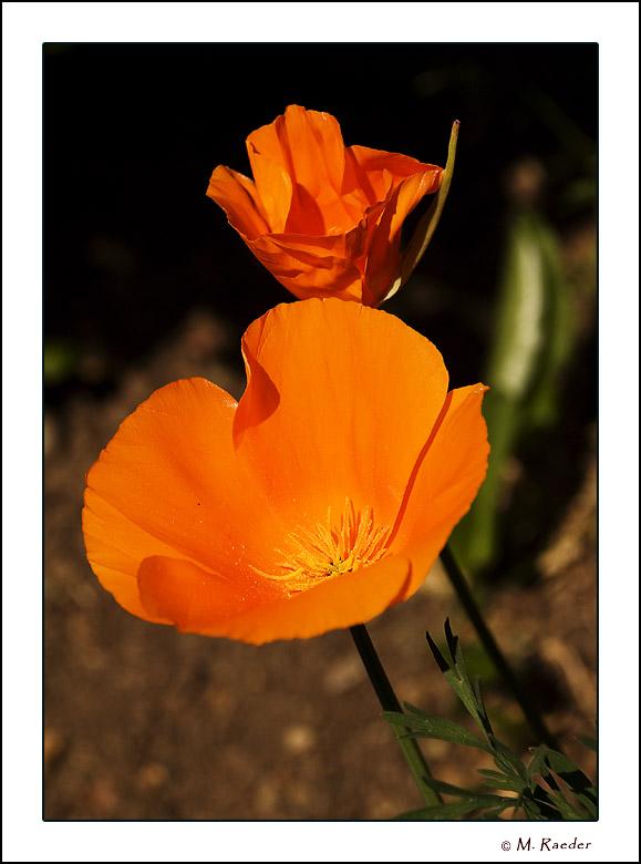 Poppy_577a