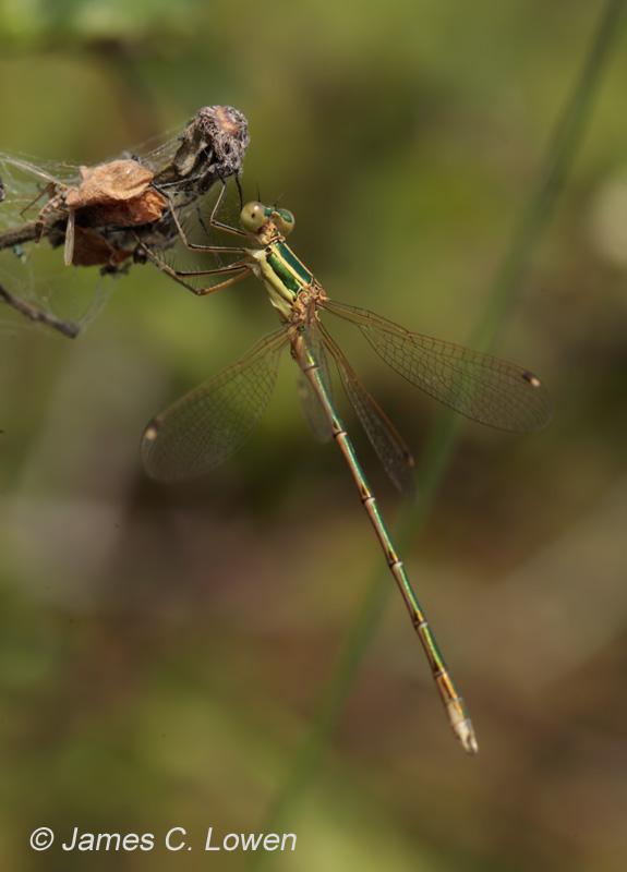 Southern Emerald Damselfly