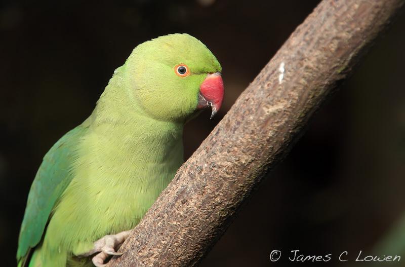 *NEW* Ring-necked Parakeet