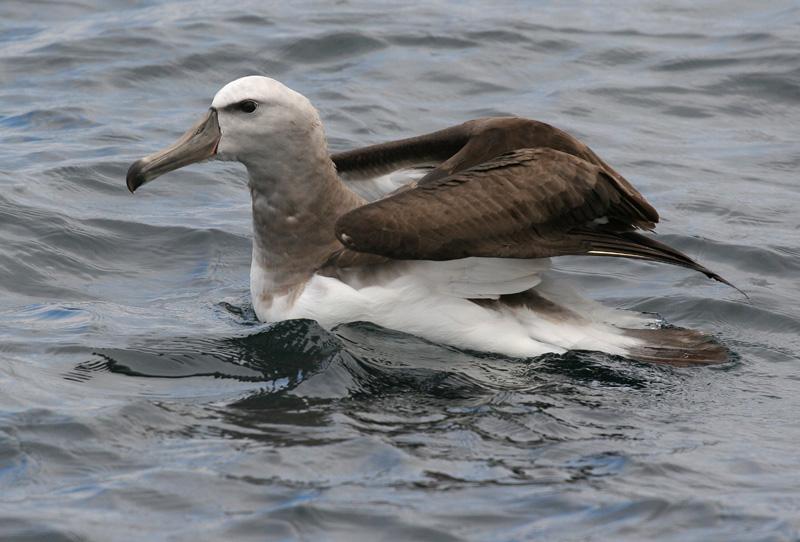 Salvins Albatrosses