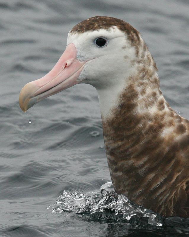 antipodensis Wandering Albatross
