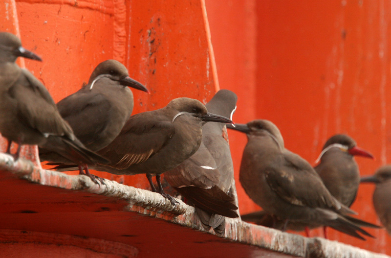 Inca Terns: immatures