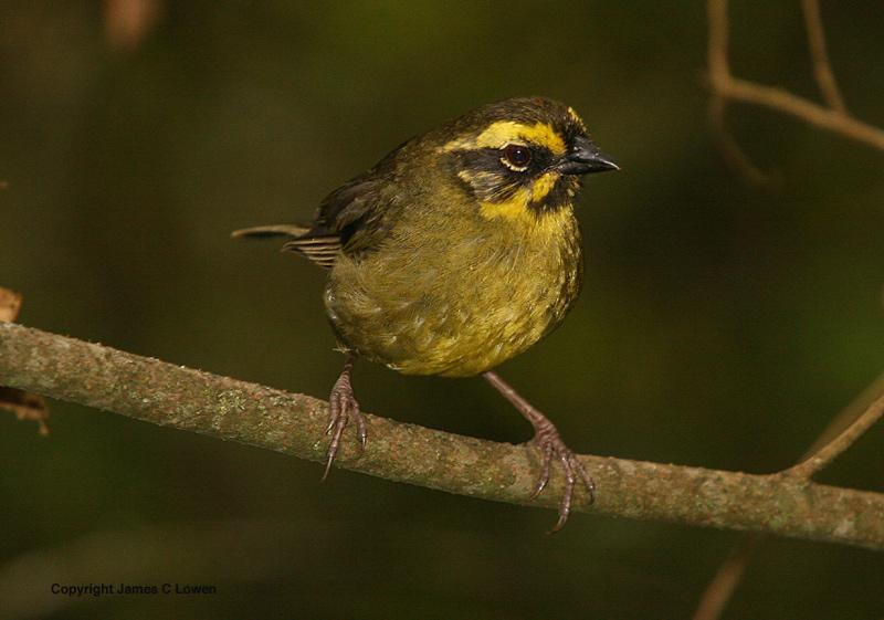 Yellow-striped Brush-finch