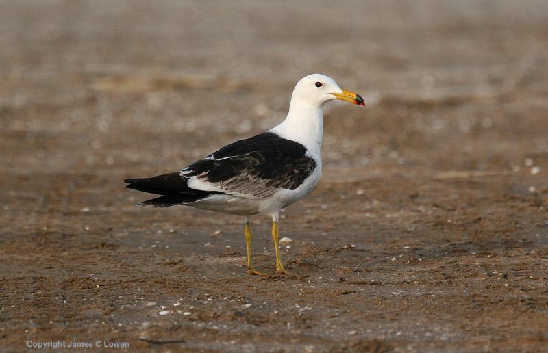 Olrogs Gull
