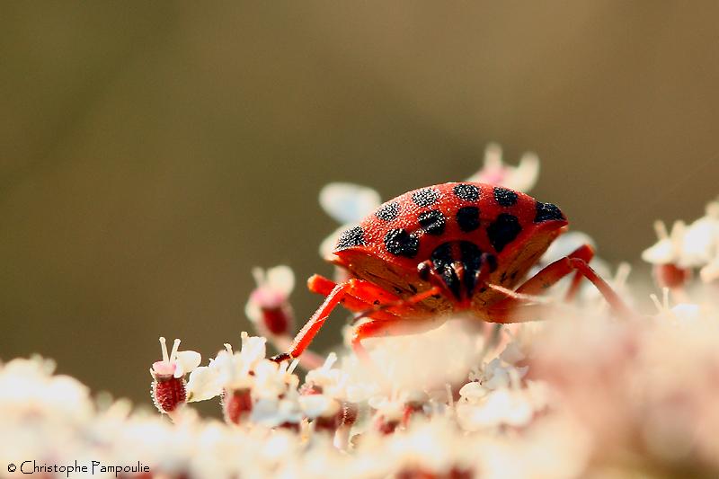 Half-spotted stink bug