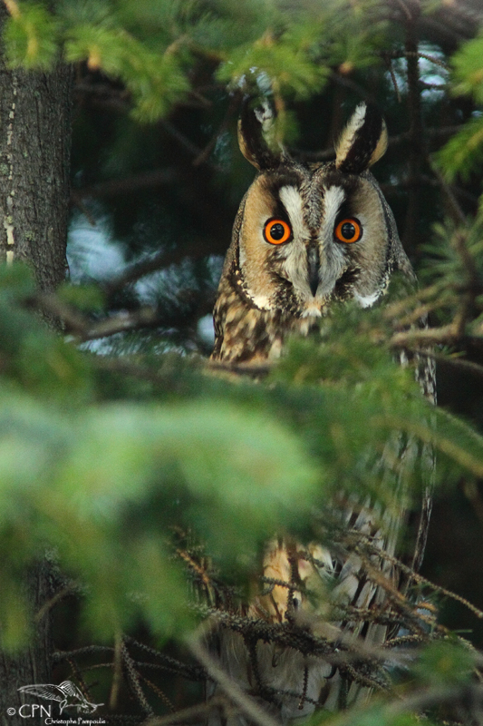 Long-eared owl*