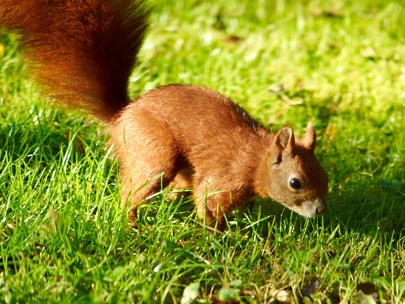 2011-09-19 Red squirrel