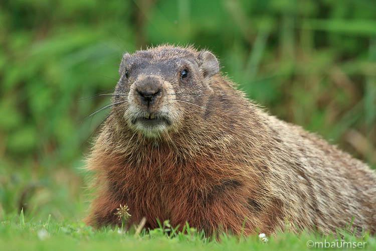 Groundhog (Marmota Monax) Up-close