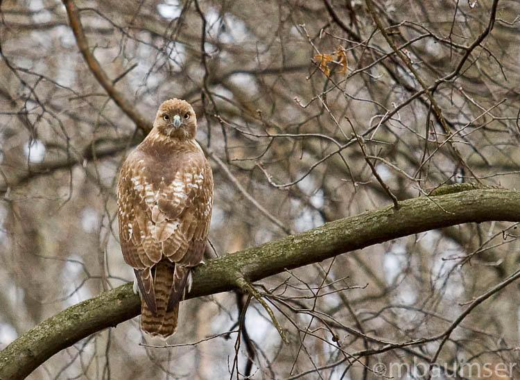 Redtail Hawk 6948