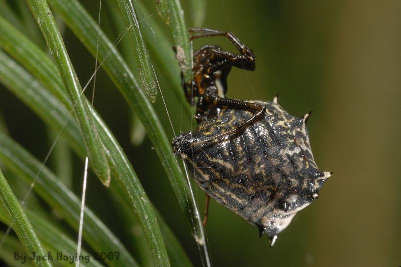Micrathena Spider