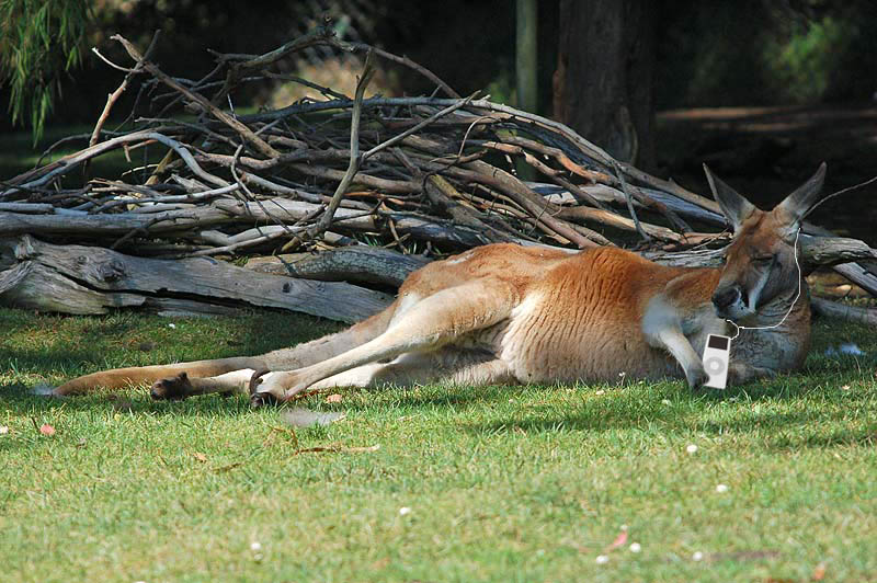 Lauras Kangaroo Relaxing