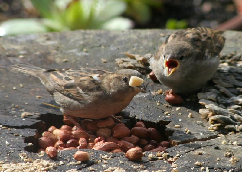 Mrs Sparrow tossing peanuts.JPG