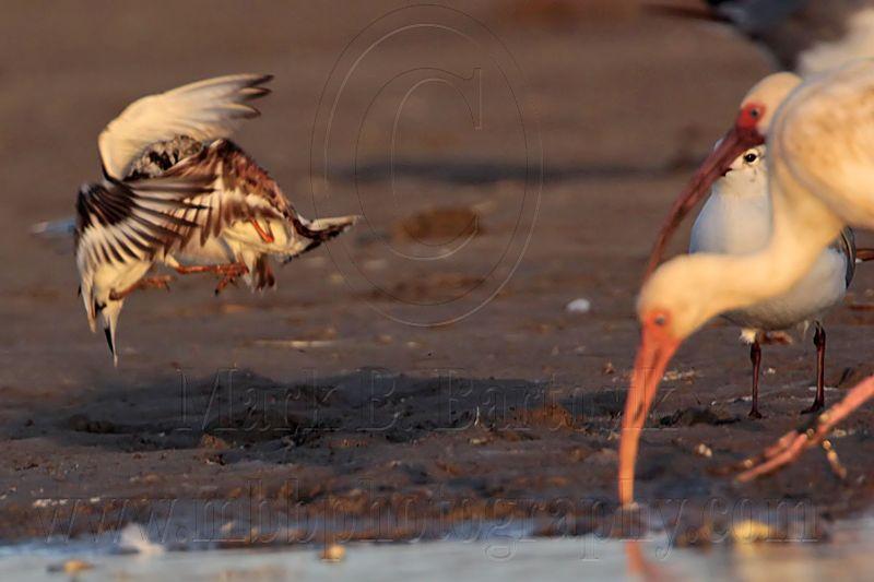 _MG_6475 Ruddy Turnstone & Laughing Gull & White Ibis.jpg