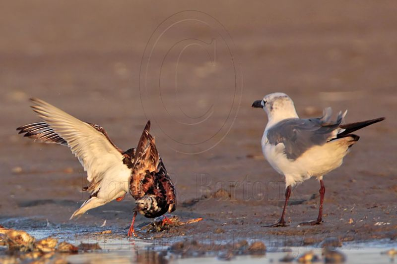 _MG_6583 Ruddy Turnstone & Laughing Gull.jpg